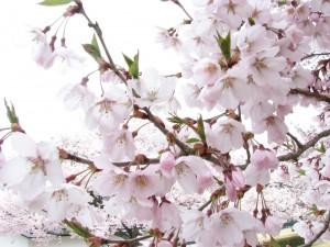 鶴ヶ城桜情報その2
