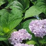 """梅雨の花 """"紫陽花"""" と、夏のオニヤンマ"""