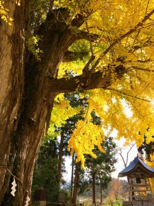会津のおススメ紅葉スポット♪新宮熊野神社『長床』の大イチョウ
