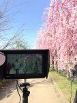 ≪ 桜シーズンの動画撮影 ≫